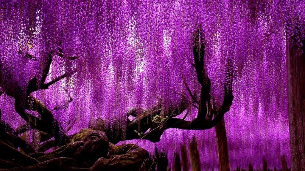 Глициния уход и выращивание: цветок вистерия, как ухаживать