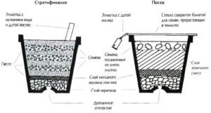 Выращивание глицинии из семян