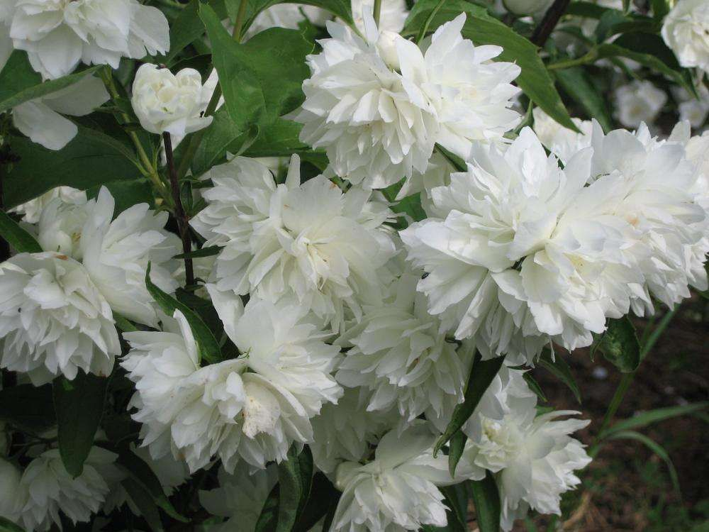 Садовый жасмин – Снежная буря и другие сорта