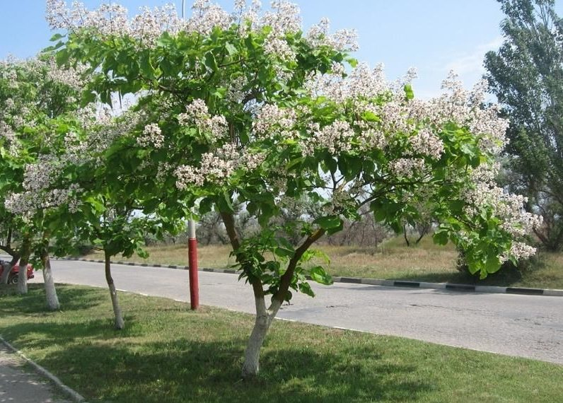 Особенности выращивания декоративного дерева катальпа