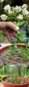 Вирджинал махровый сорт зимостойкого садового жасмина