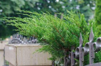 Кипарисовик для сада - Лавсона Ивонн