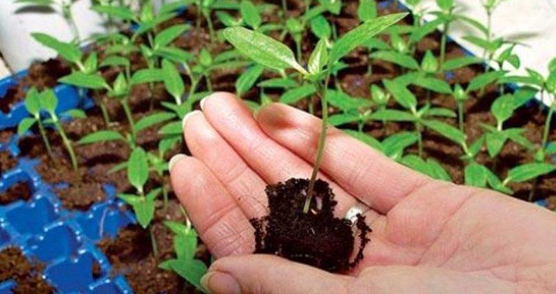 Особенности выращивания кларкии