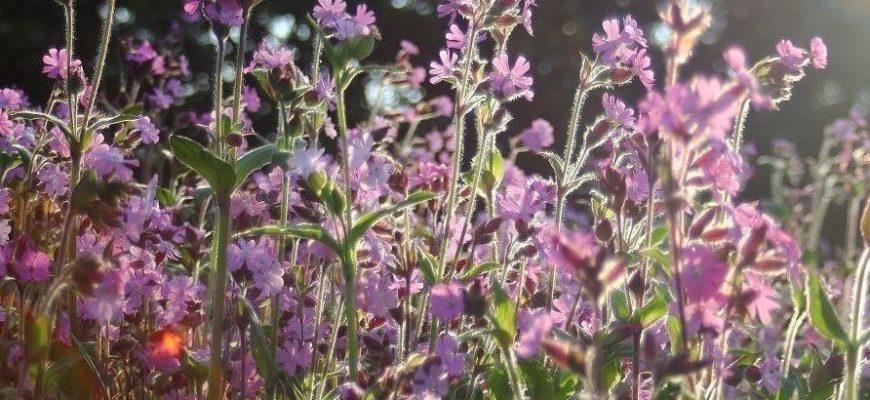 корончатый лихнис — цветок со «сверкающими» соцветиями
