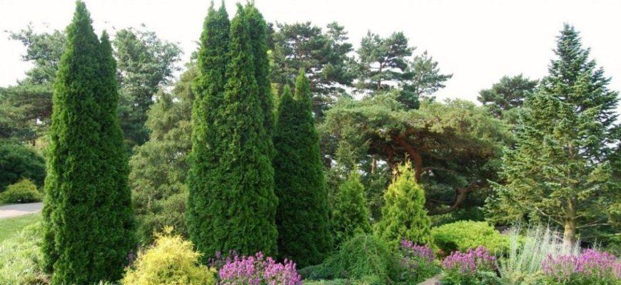 Кипарисовик булевард – вечнозеленая красота на вашем участке