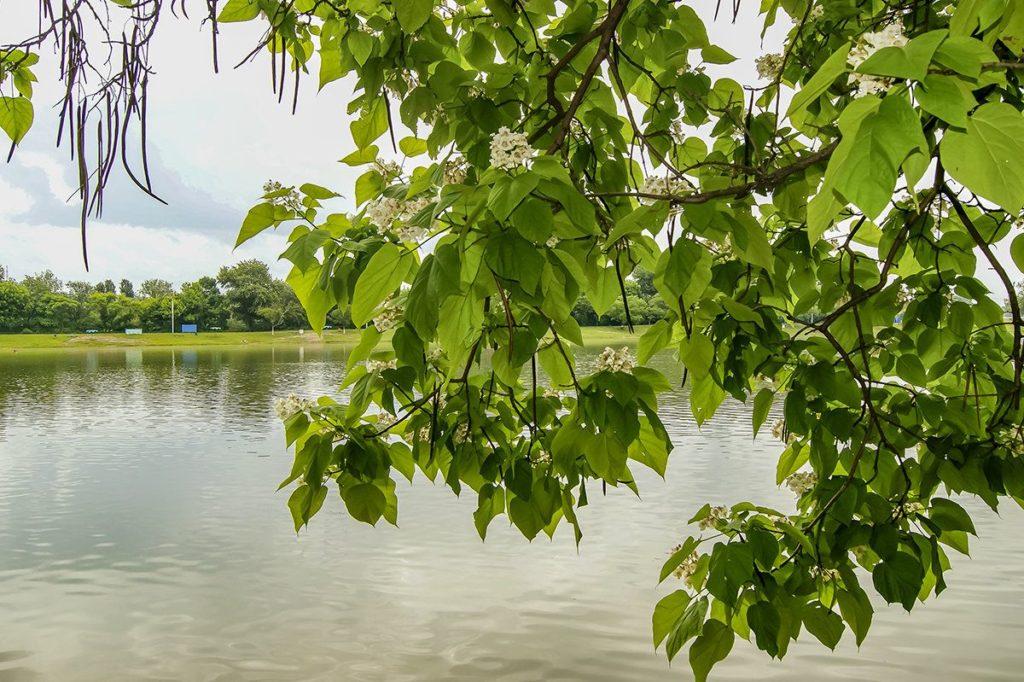 Особенности выращивания дерева катальпа: посадка и уход