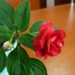 ванька мокрый цветок