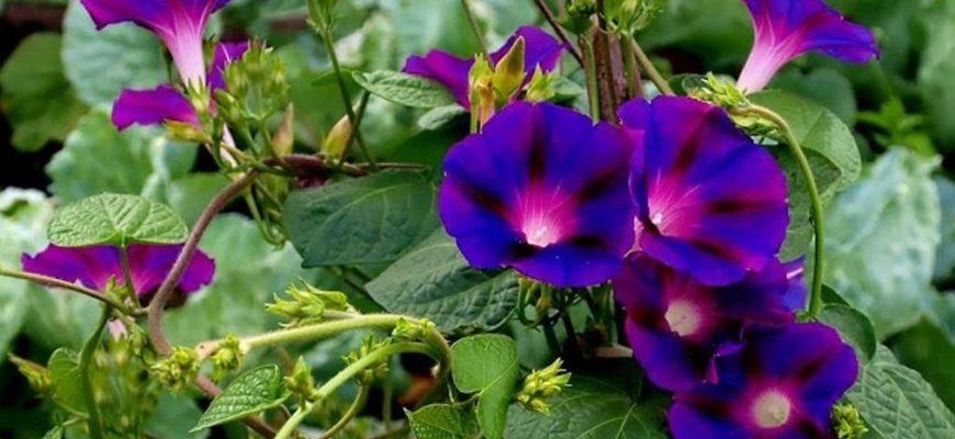Растение ипомея, когда цветет и как ухаживать