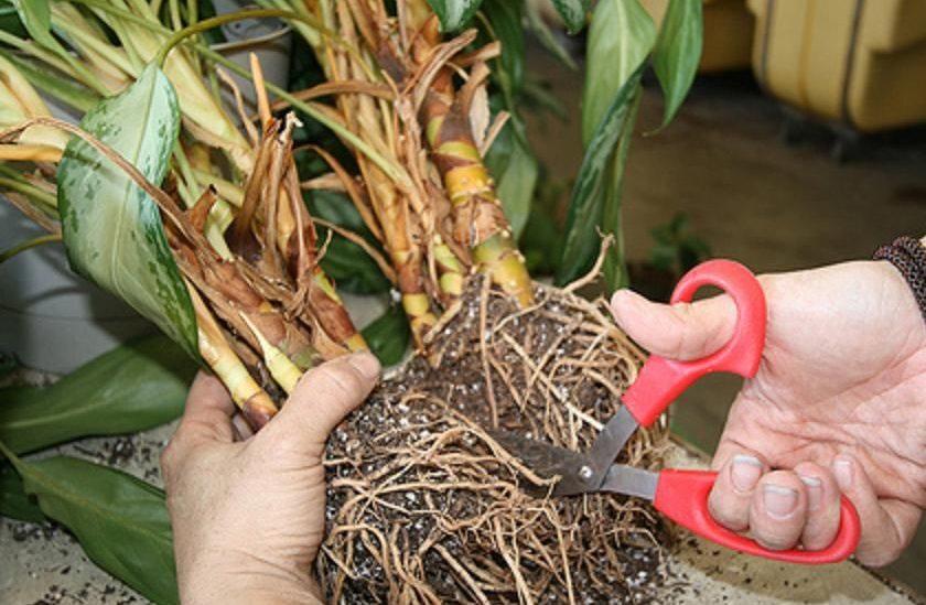 Размножение с помощью деления корневищ