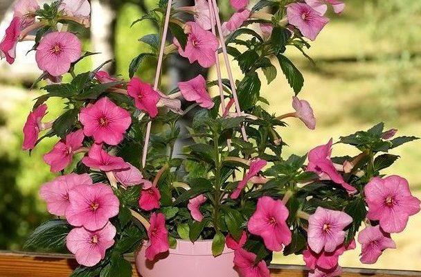 Ахименес выращивание и уход за жителем бразильской флоры