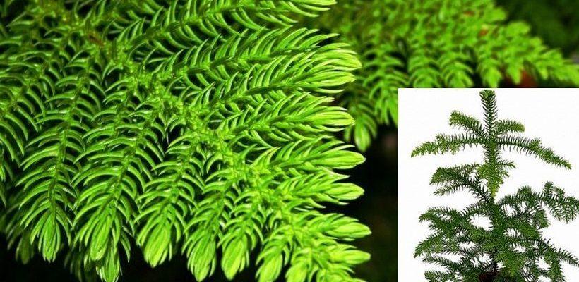 Араукария – комнатный цветок-хвойник