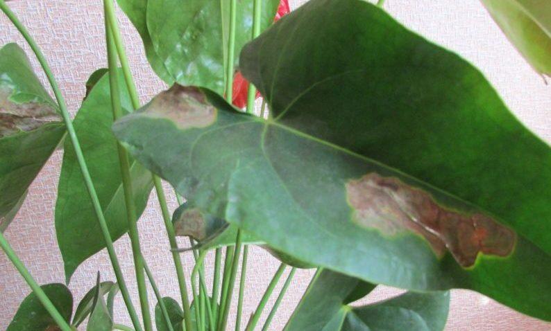 Причины, из-за которых сохнут и покрываются пятнами листья