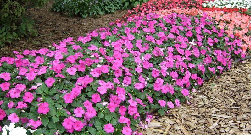 Где высадить садовый бальзамин