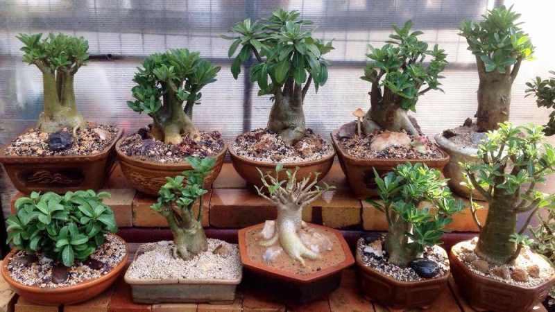 Правила ухода за растением адениум обесум, варианты размножения