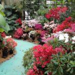 Выращивание азалии в саду