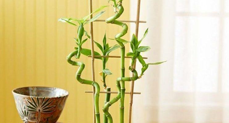 Как размножать и осуществлять уход за бамбуком дома
