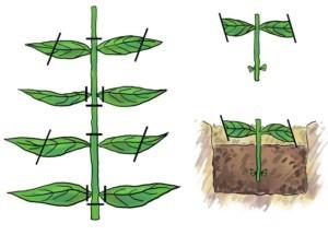 Особенности выращивания и ухода за белопероне в домашних условиях
