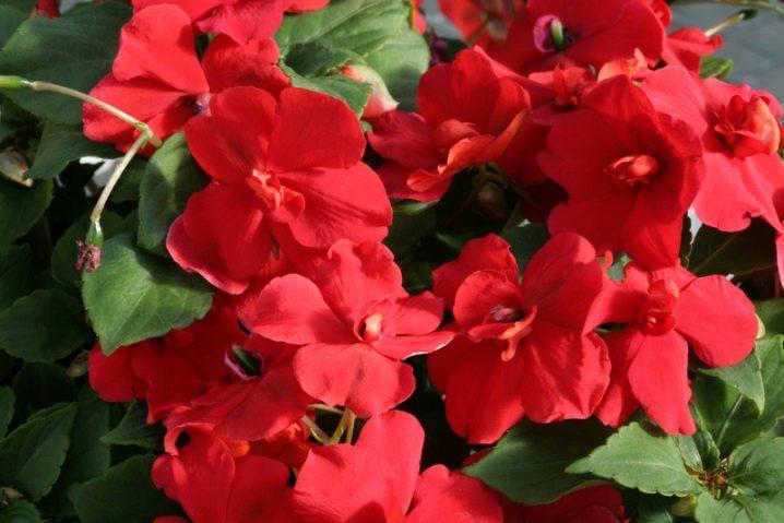 Цветы ярко красные