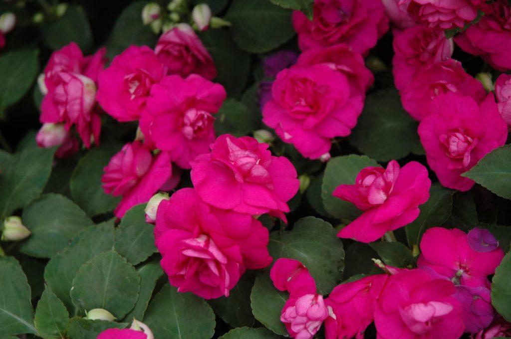 Цветы ярко-малиновые