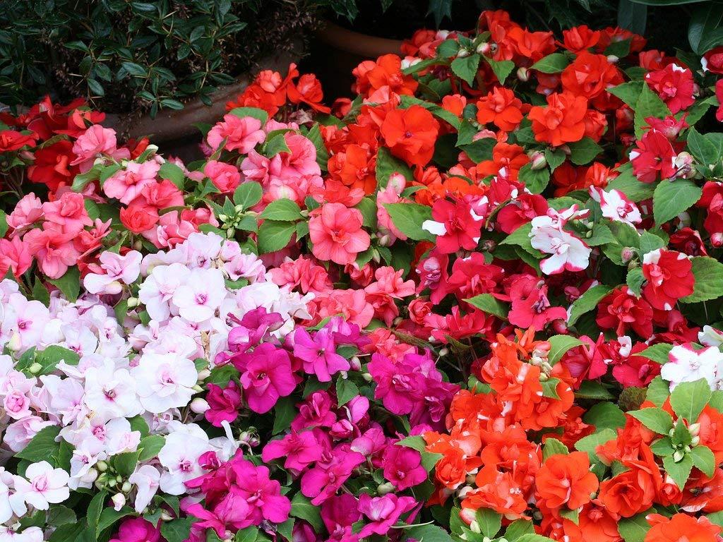 Разноцветные бальзамины Деметра
