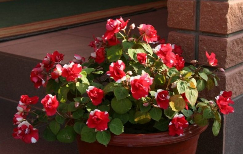 Красно-белые цветы в горшке