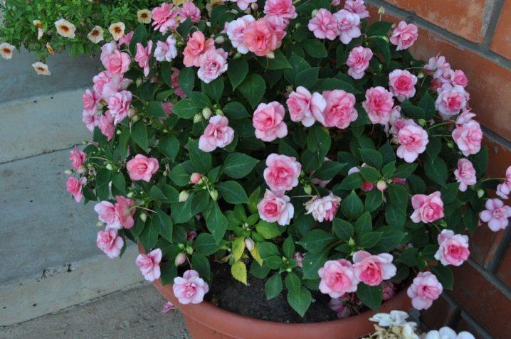 Бело розовые цветы в горшке