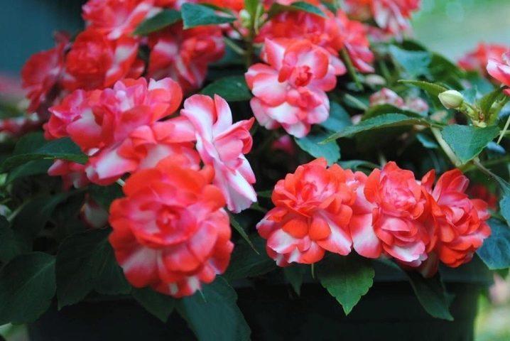 Бело-розовые цветы