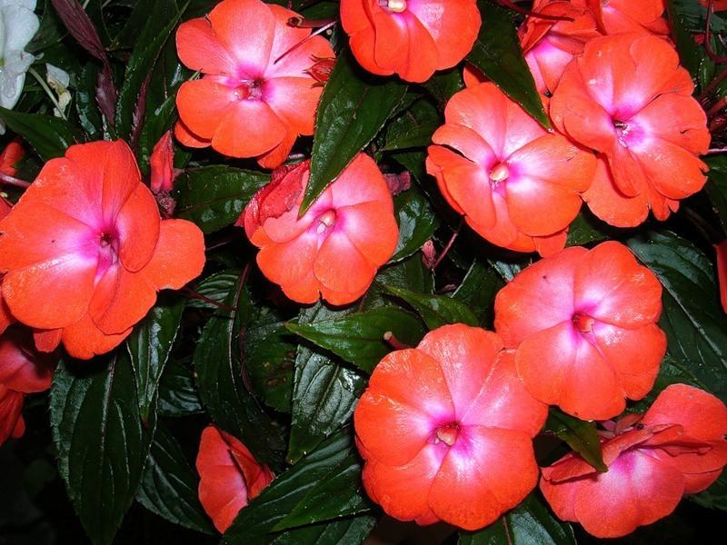 Яркие красные цветы