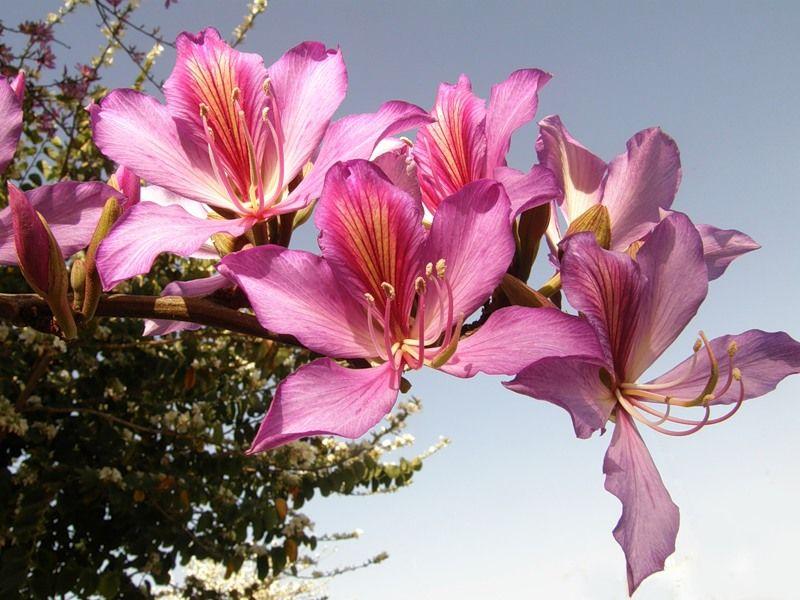 морозы баухиния орхидейное дерево фото бы
