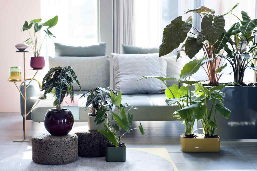 Алоказия крупнокорневая - уход в домашних условиях,лечебные свойства, фото, видео