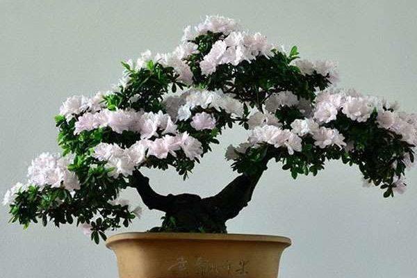 Азалия японская: особенности ухода и размножения