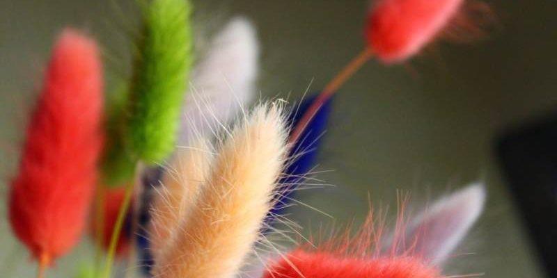 Декоративные злаки: лагурус