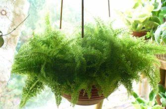Выращивание аспарагуса Мейера