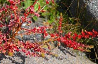 Выращивание и сферы применения земляничного шпината