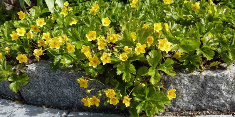 Особенности посадки растения в открытом грунте