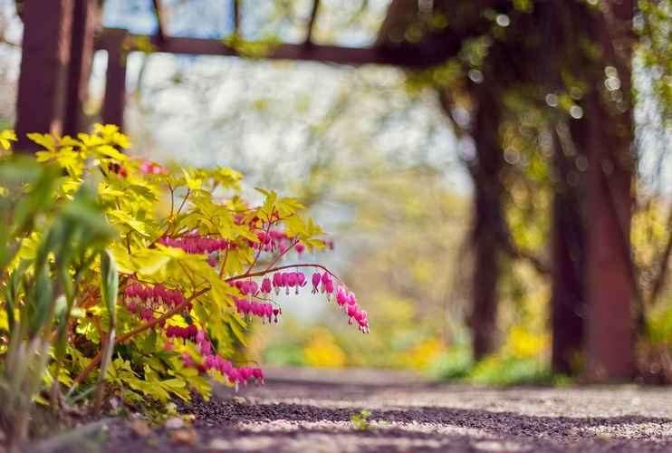 Посадка и уход за дицентрой в открытом грунте: выращивание из корневищ и семян