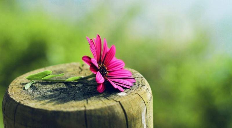 Диморфотека выращивание из семян: цветы диморфотека посадка и уход