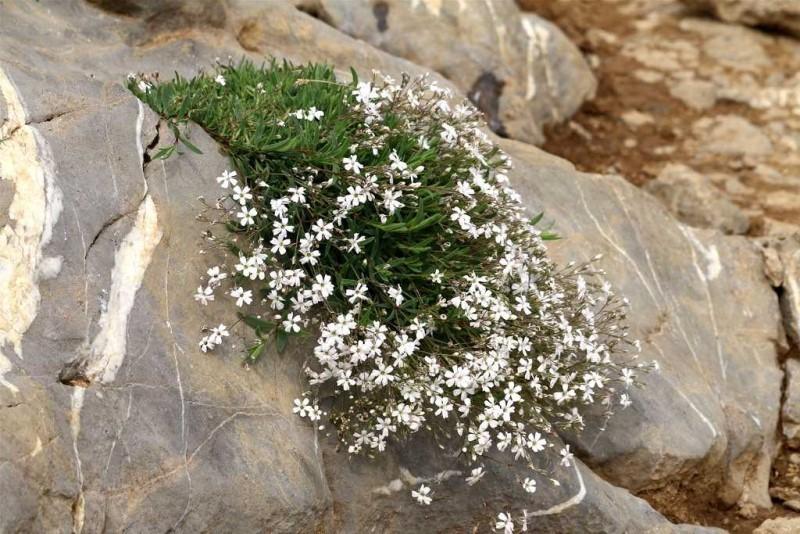 Гипсофила многолетняя описание растения