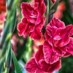 Сорта гладиолусов