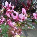 Гаура цветок