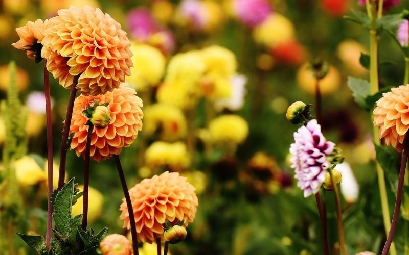Как продлить цветение георгин