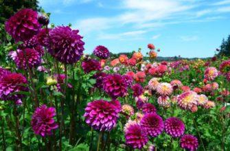 Когда цветут георгины