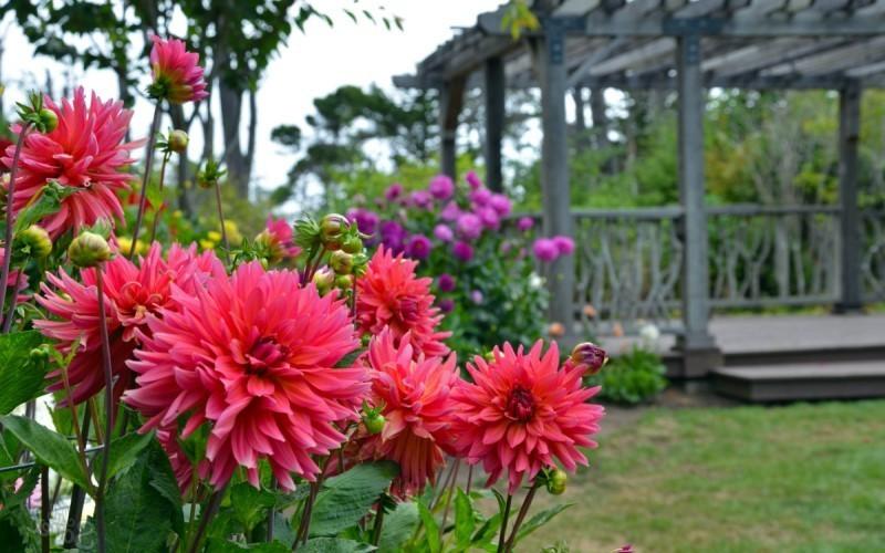 Сроки цветения георгин