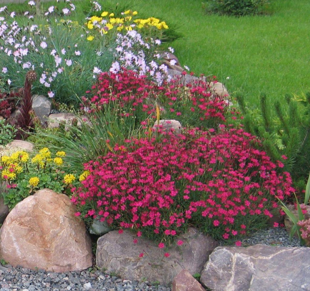 Гвоздика травянка многолетняя: посадка и уход, фото