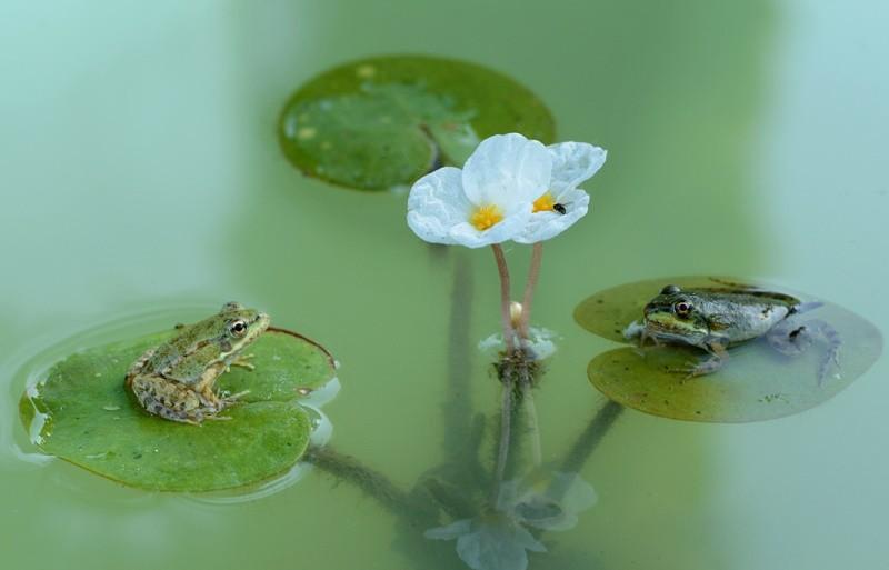 Водокрас лягушачий — как вырастить в домашних условиях