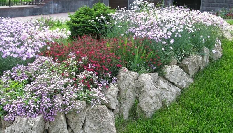 Альпийская гвоздика Dianthus alpinus