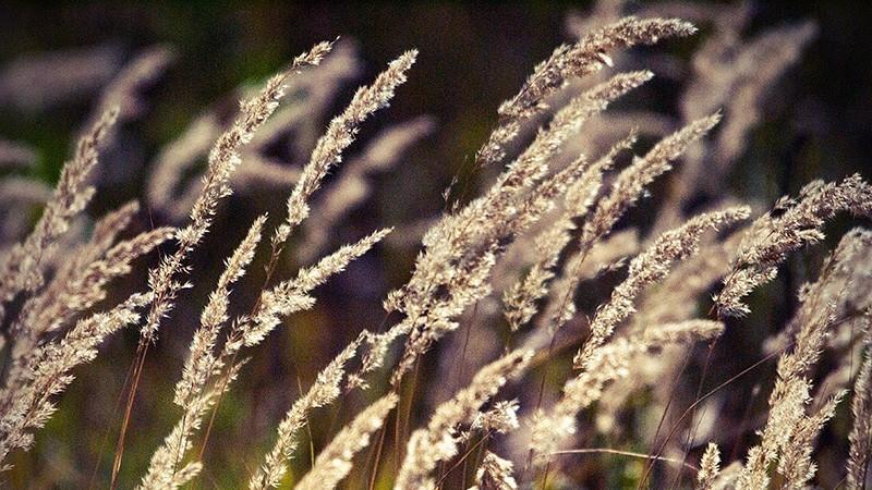 Лечебные свойства и применение вейника наземного