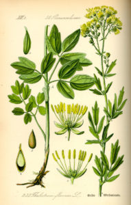 Ботаническое описание василистника малого