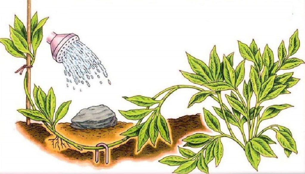 Размножение вейгелы отводками