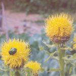 Василек крупноголовый желтый
